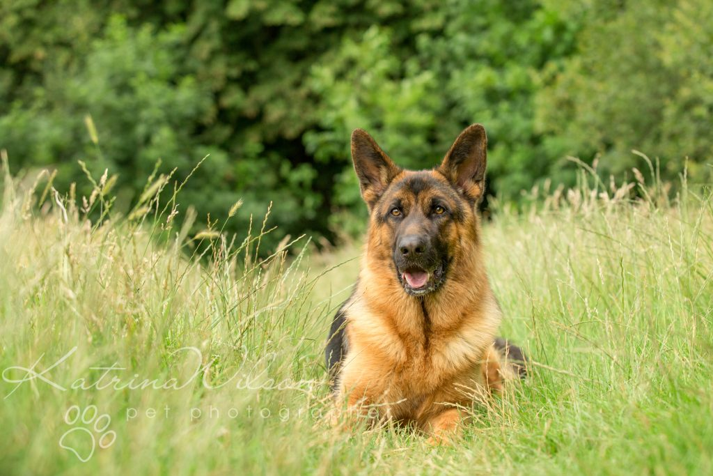 Top 100 Dog Breeds - Dog Photographer Bedfordshire_-4
