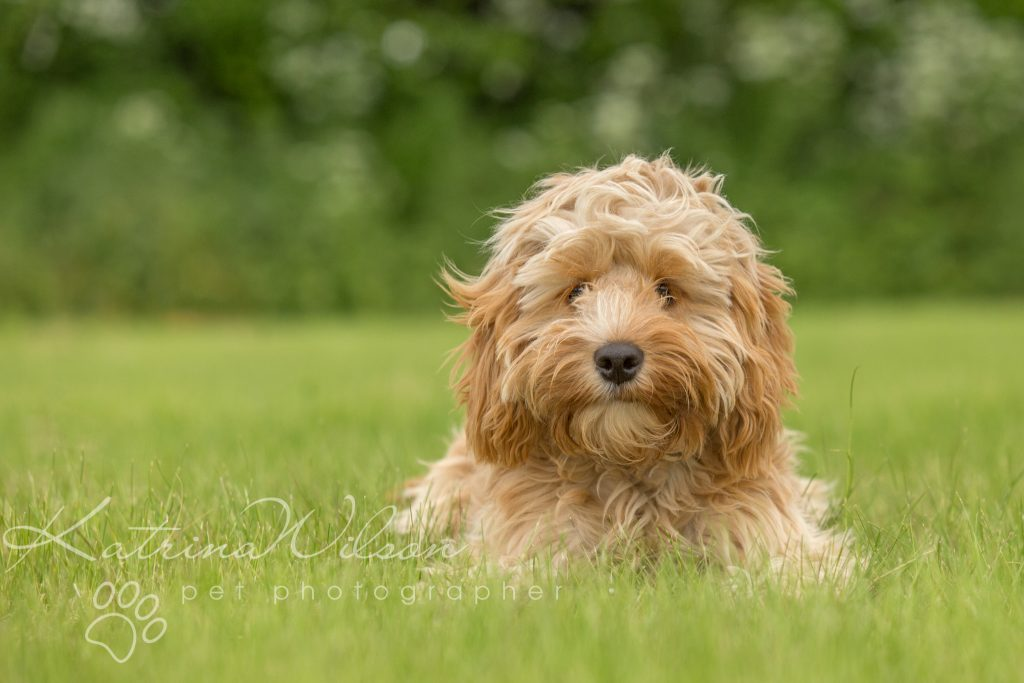 Top 100 Dog Breeds - Dog Photographer Bedfordshire_-5