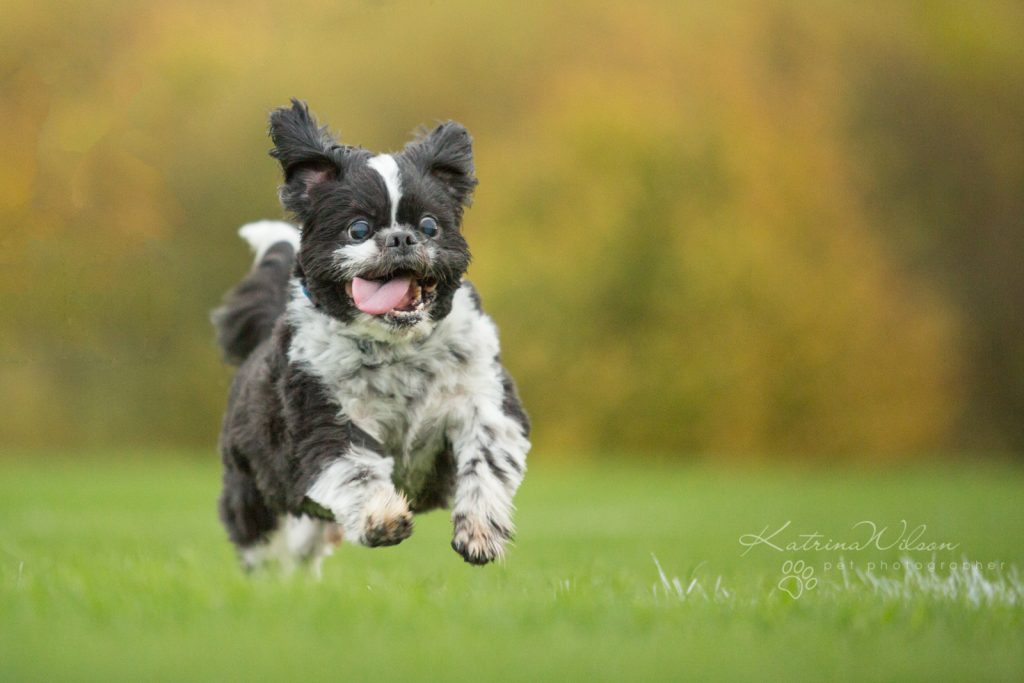 10 things to consider when choosing a pet photographer - Dog Photographer Bedfordshire-9