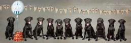Labrador puppies - Dog Photographer Bedfordshire-2