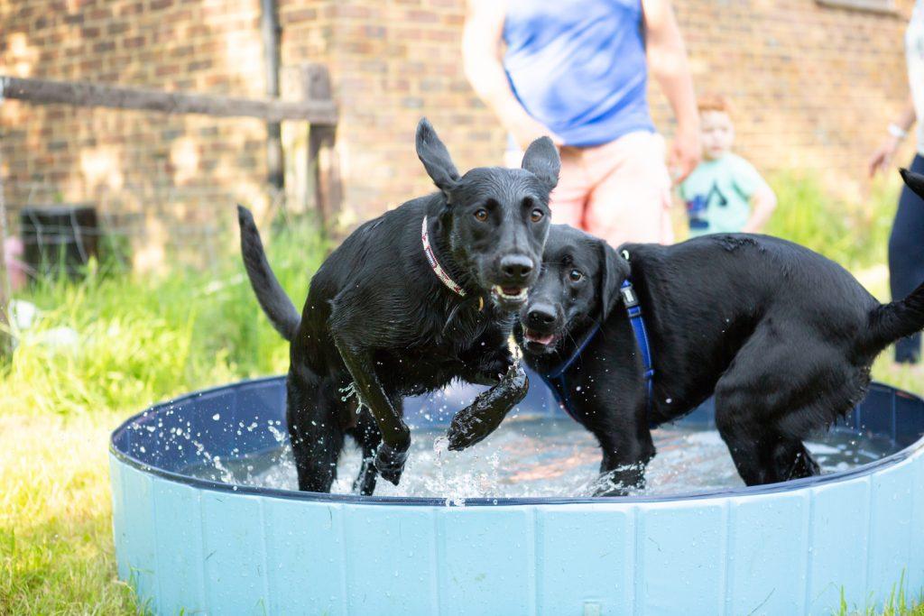 Labrador puppies - Dog Photographer Bedfordshire-4