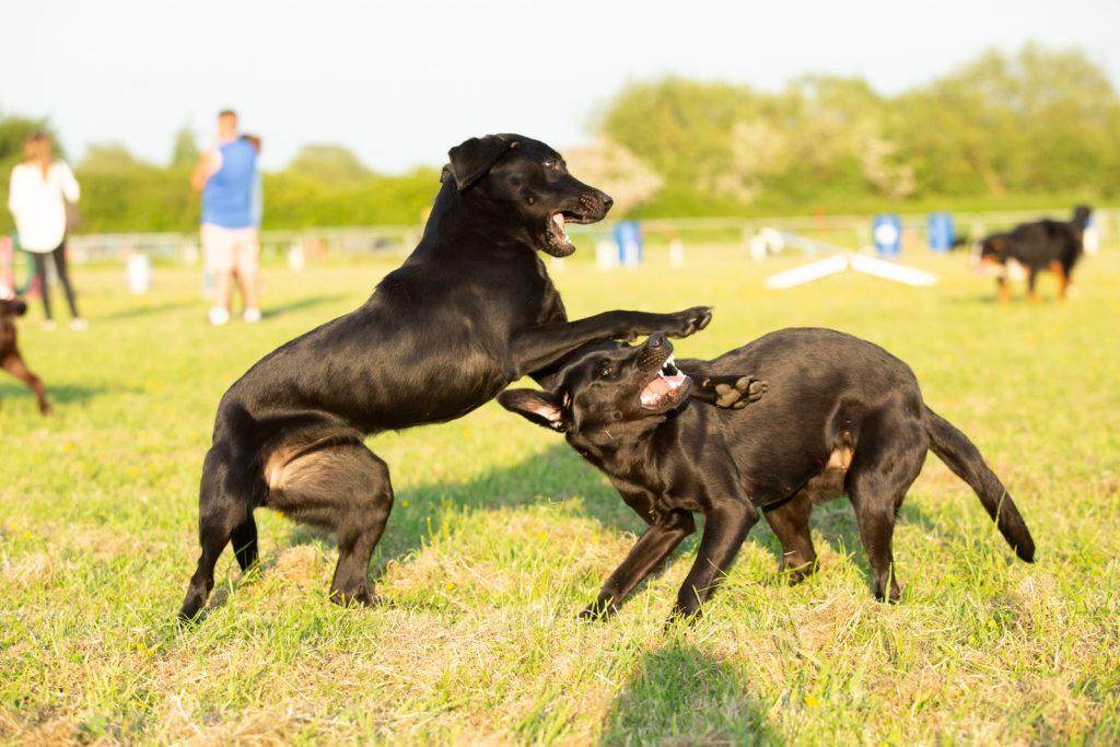 Labrador puppies - Dog Photographer Bedfordshire-5