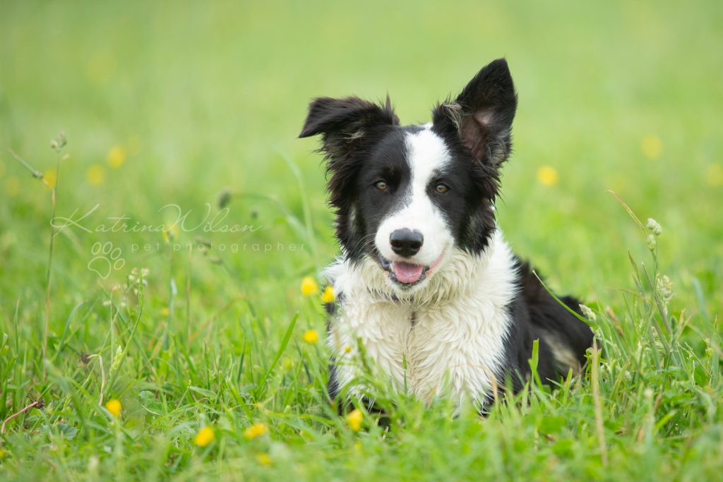 Mist The Border Collie Puppy - Dog Photographer Bedfordshire_