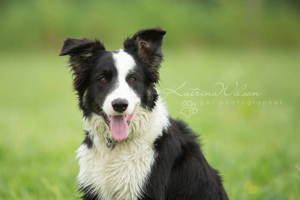 Mist The Border Collie Puppy - Dog Photographer Bedfordshire_-2