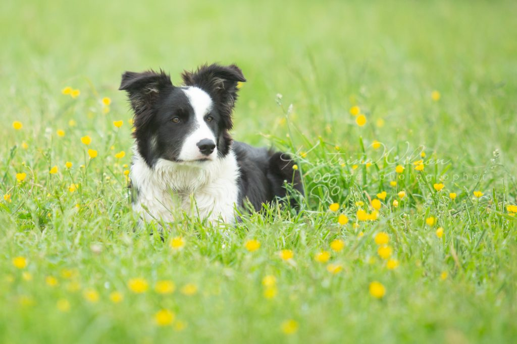 Mist The Border Collie Puppy - Dog Photographer Bedfordshire_-3
