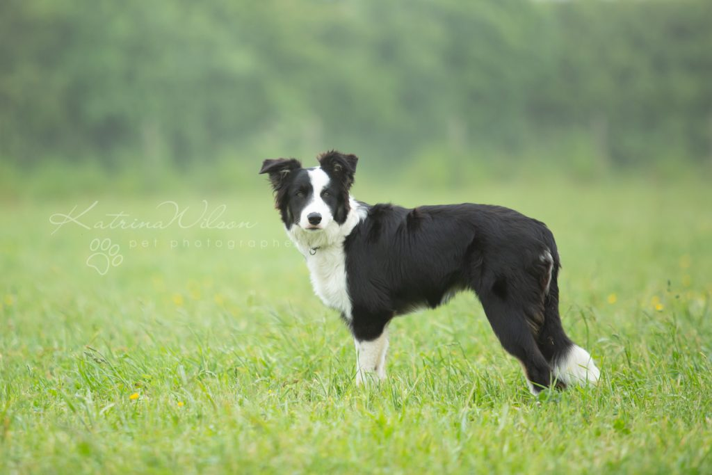 Mist The Border Collie Puppy - Dog Photographer Bedfordshire_-6