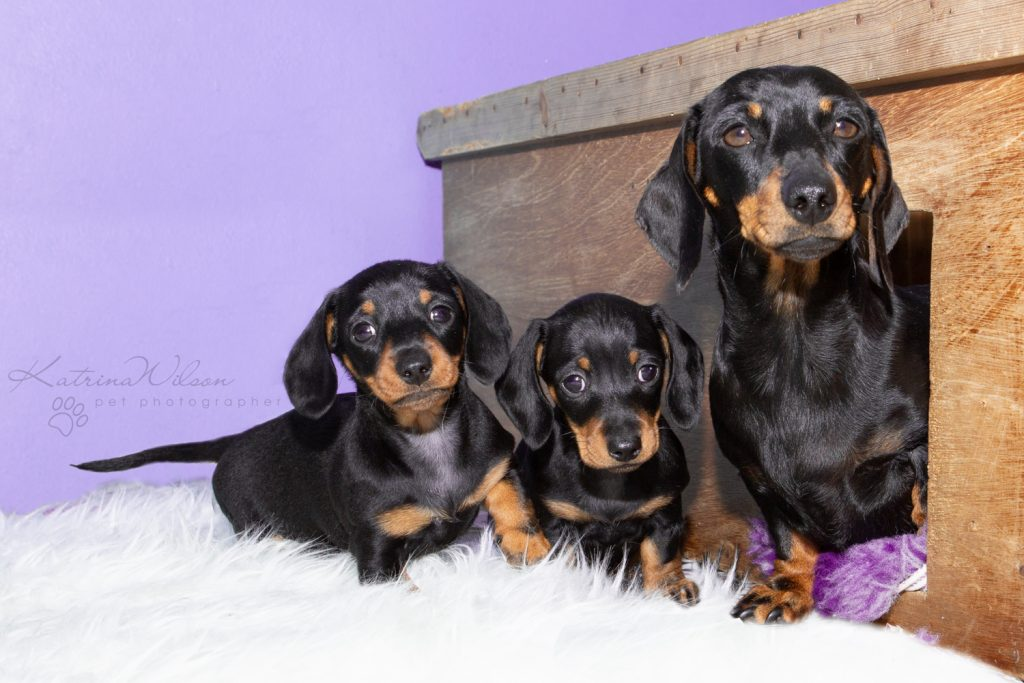 Smooth Haired Mini Dachshund - Bedfordshire Dog Photographer-3