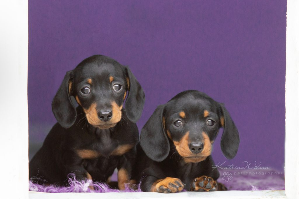 Smooth Haired Mini Dachshund - Bedfordshire Dog Photographer-5