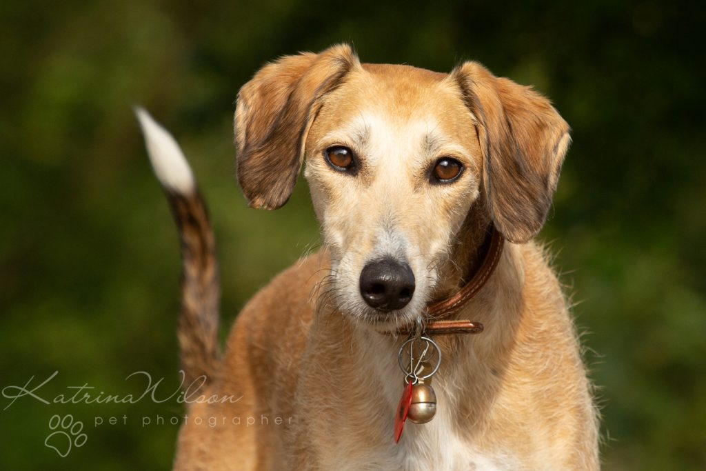 Katrina Wilson Dog Photographer Bedfordshire - Pickle the Lurcher