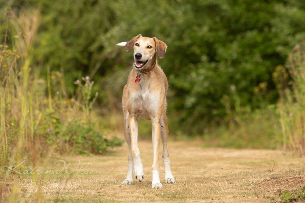 Katrina Wilson Dog Photographer Bedfordshire - Pickle the Lurcher-3