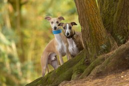 Woodland Whippets - Dog Photography Session - Katrina Wilson Photography_-3