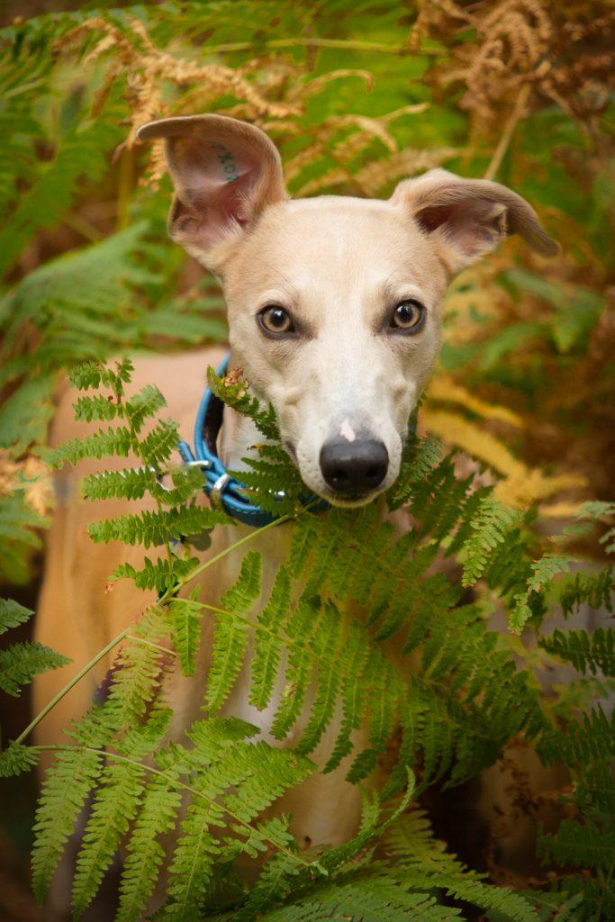 Woodland Whippets - Dog Photography Session - Katrian Wilson Photography_