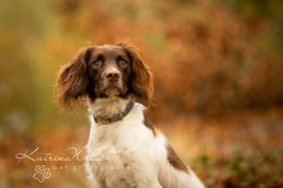 Springer Spaniel Photo Session - Katrian Wilson Dog Photographer Bedfordshire-2