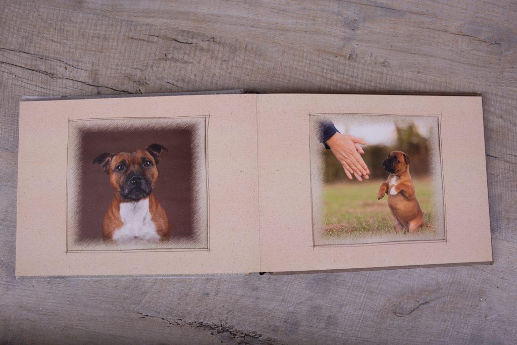 Staffordshire Bull Terrier Puppies - Katrina Wilson Dog Photographer Bedfordshire-55