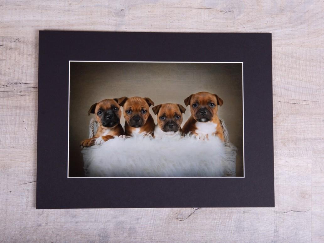 Staffordshire Bull Terrier Puppies - Katrina Wilson Dog Photographer Bedfordshire-67
