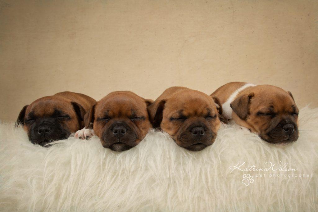 Staffordshire Bull Terrier Puppy Litter - Katrina Wilson Dog Photography Bedfordshire-2-2