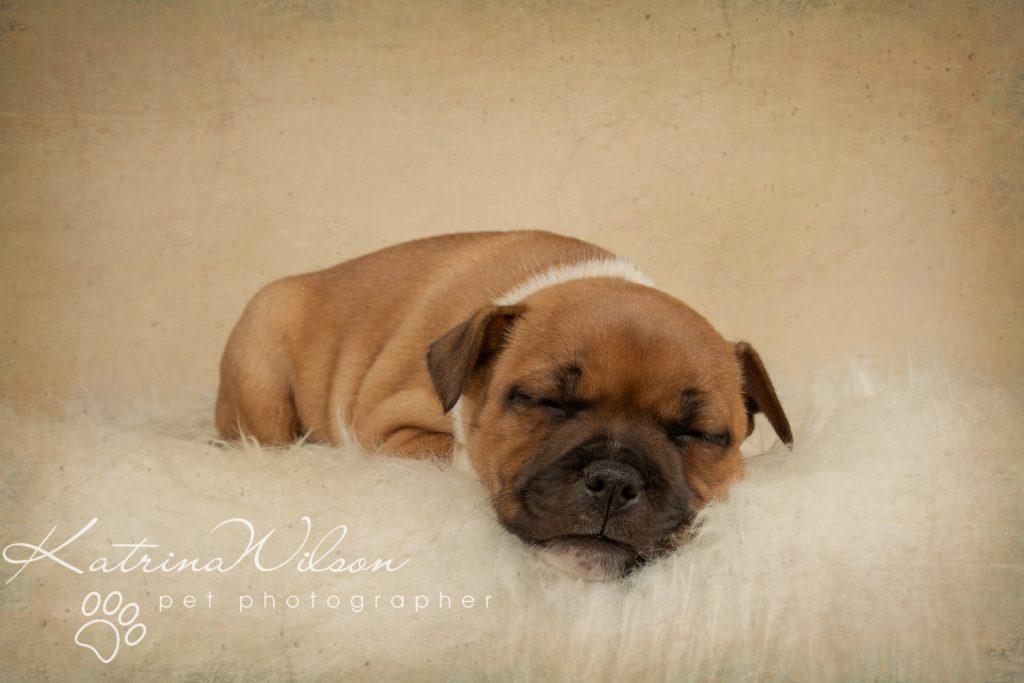 Staffordshire Bull Terrier Puppy Litter - Katrina Wilson Dog Photography Bedfordshire-2-4