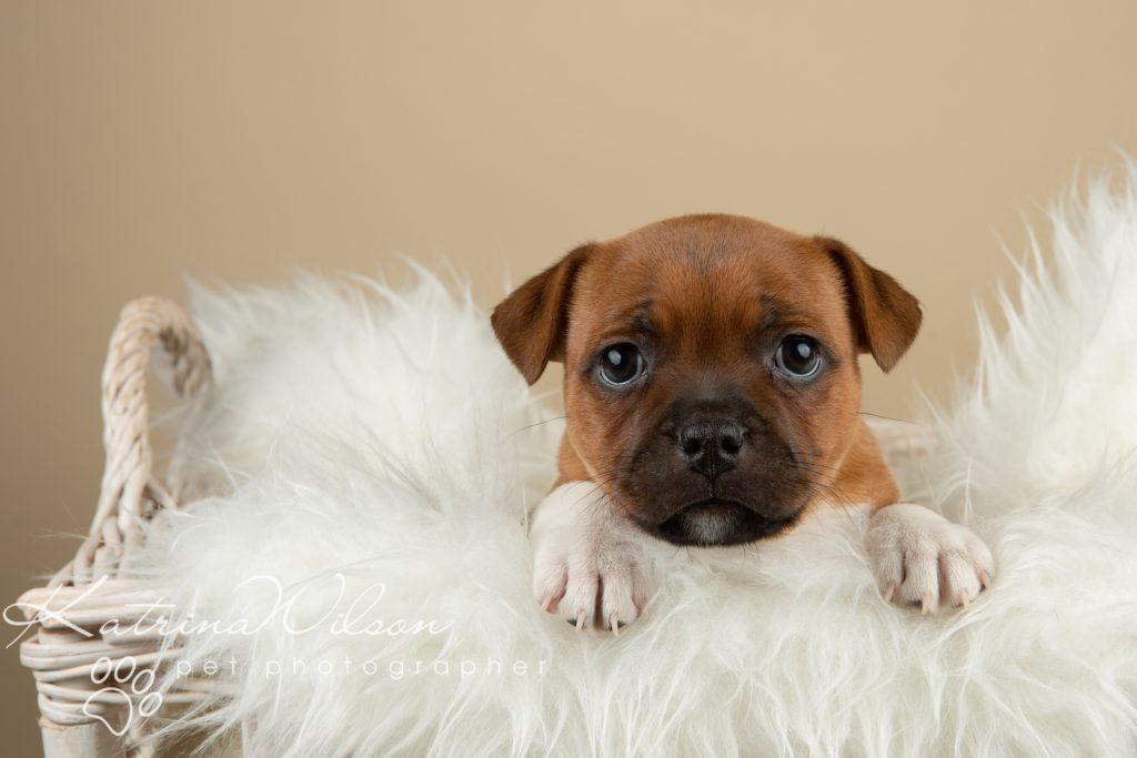 Staffordshire Bull Terrier Puppy Litter - Katrina Wilson Dog Photography Bedfordshire-2-5