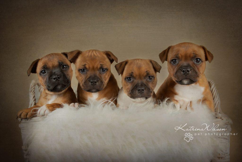 Staffordshire Bull Terrier Puppy Litter - Katrina Wilson Dog Photography Bedfordshire-2-6