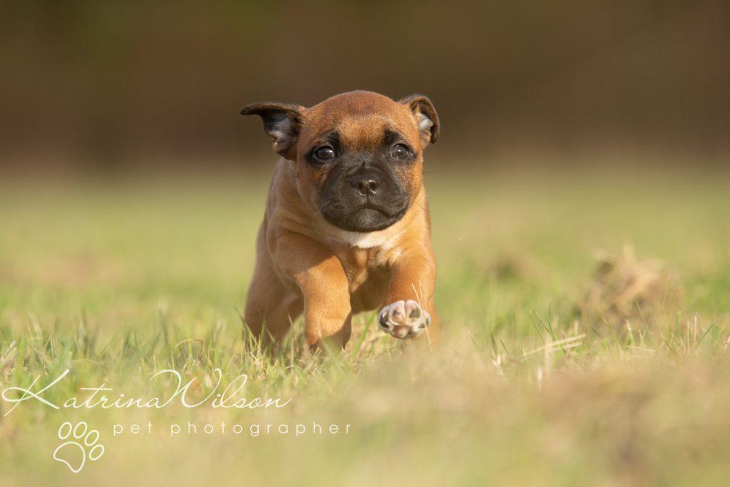 Staffordshire Bull Terrier Puppy Litter - Katrina Wilson Dog Photography Bedfordshire-2-7