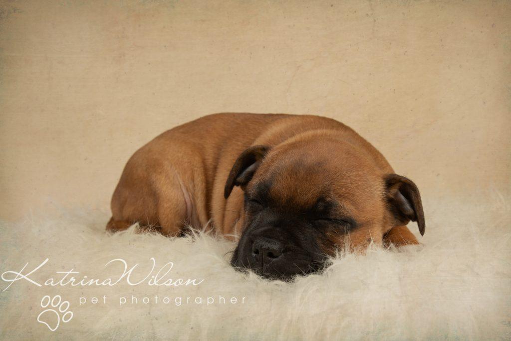 Staffordshire Bull Terrier Puppy Litter - Katrina Wilson Dog Photography Bedfordshire-2-8