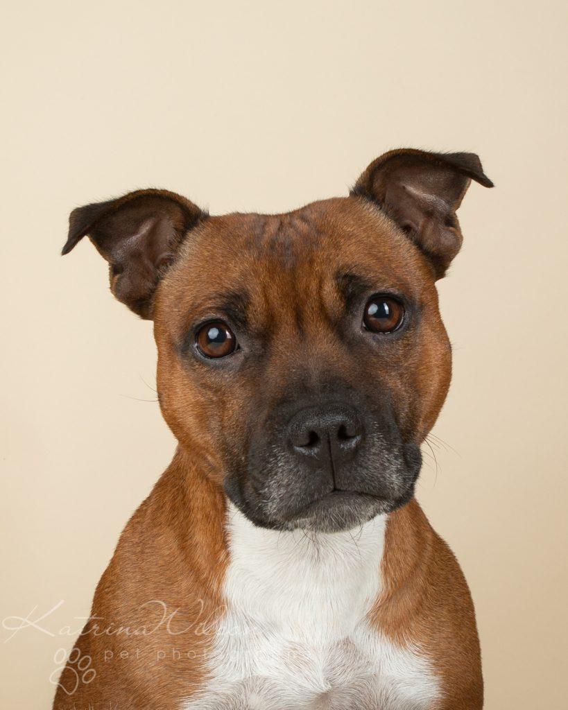 Staffordshire Bull Terrier Puppy Litter - Katrina Wilson Dog Photography Bedfordshire-2