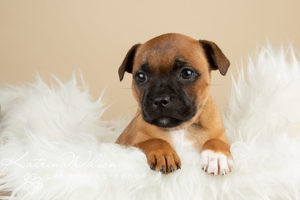 Staffordshire Bull Terrier Puppy Litter - Katrina Wilson Dog Photography Bedfordshire-3