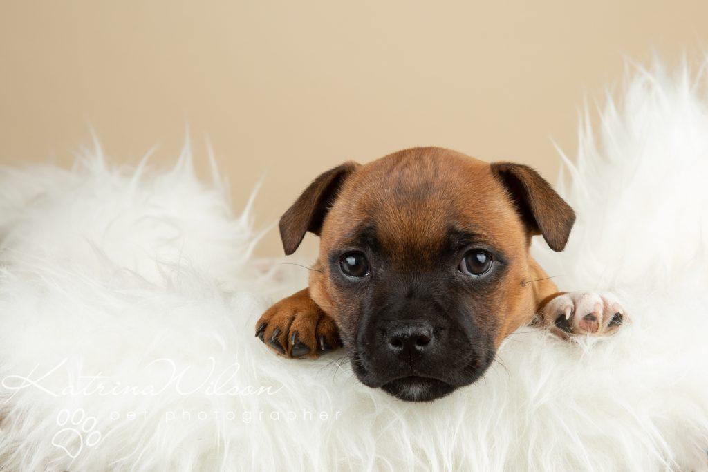 Staffordshire Bull Terrier Puppy Litter - Katrina Wilson Dog Photography Bedfordshire-4