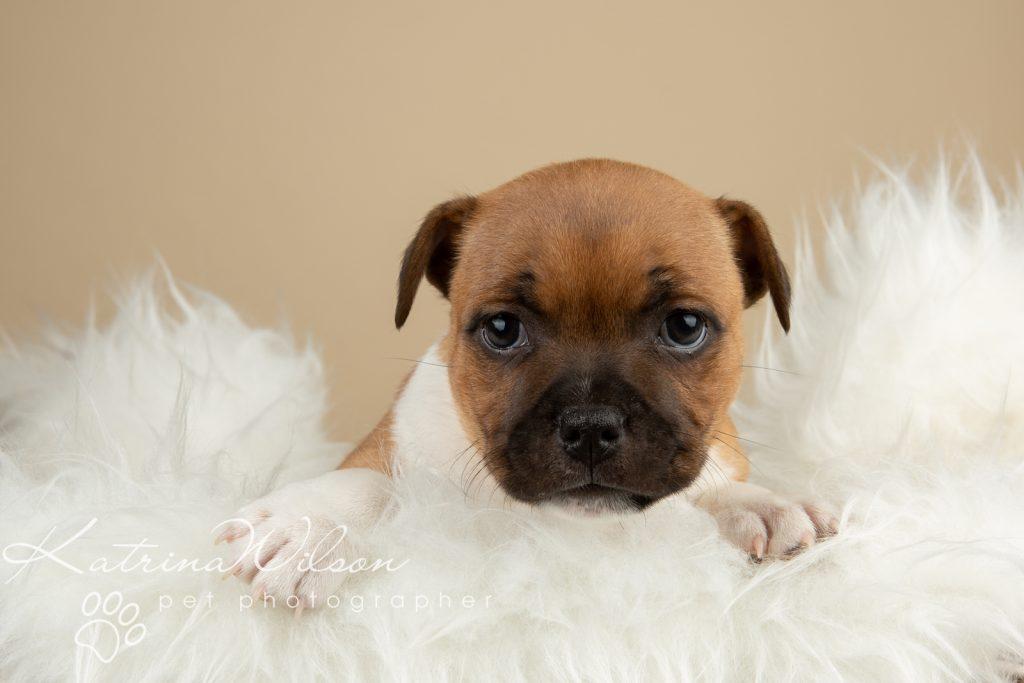 Staffordshire Bull Terrier Puppy Litter - Katrina Wilson Dog Photography Bedfordshire-5