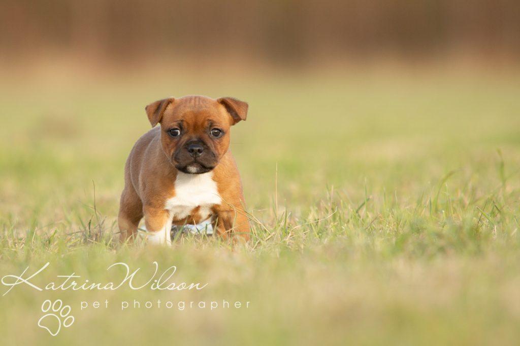 Staffordshire Bull Terrier Puppy Litter - Katrina Wilson Dog Photography Bedfordshire-5-2