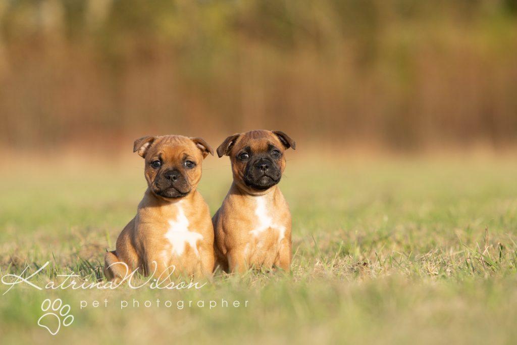 Staffordshire Bull Terrier Puppy Litter - Katrina Wilson Dog Photography Bedfordshire-7