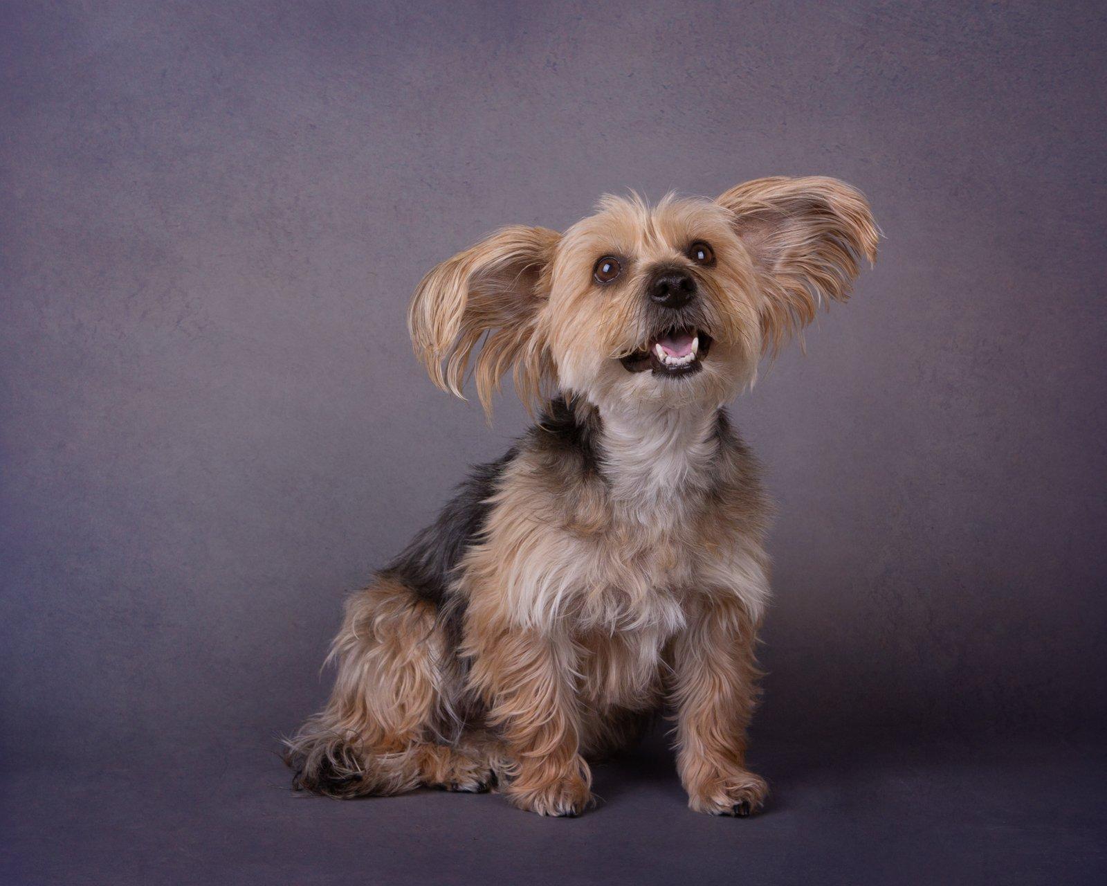 Katrina Wilson Dog Photography Bedfordshire Studio Dog Portrait-1