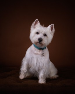 Katrina Wilson Dog Photography Bedfordshire Studio Dog Portrait-6