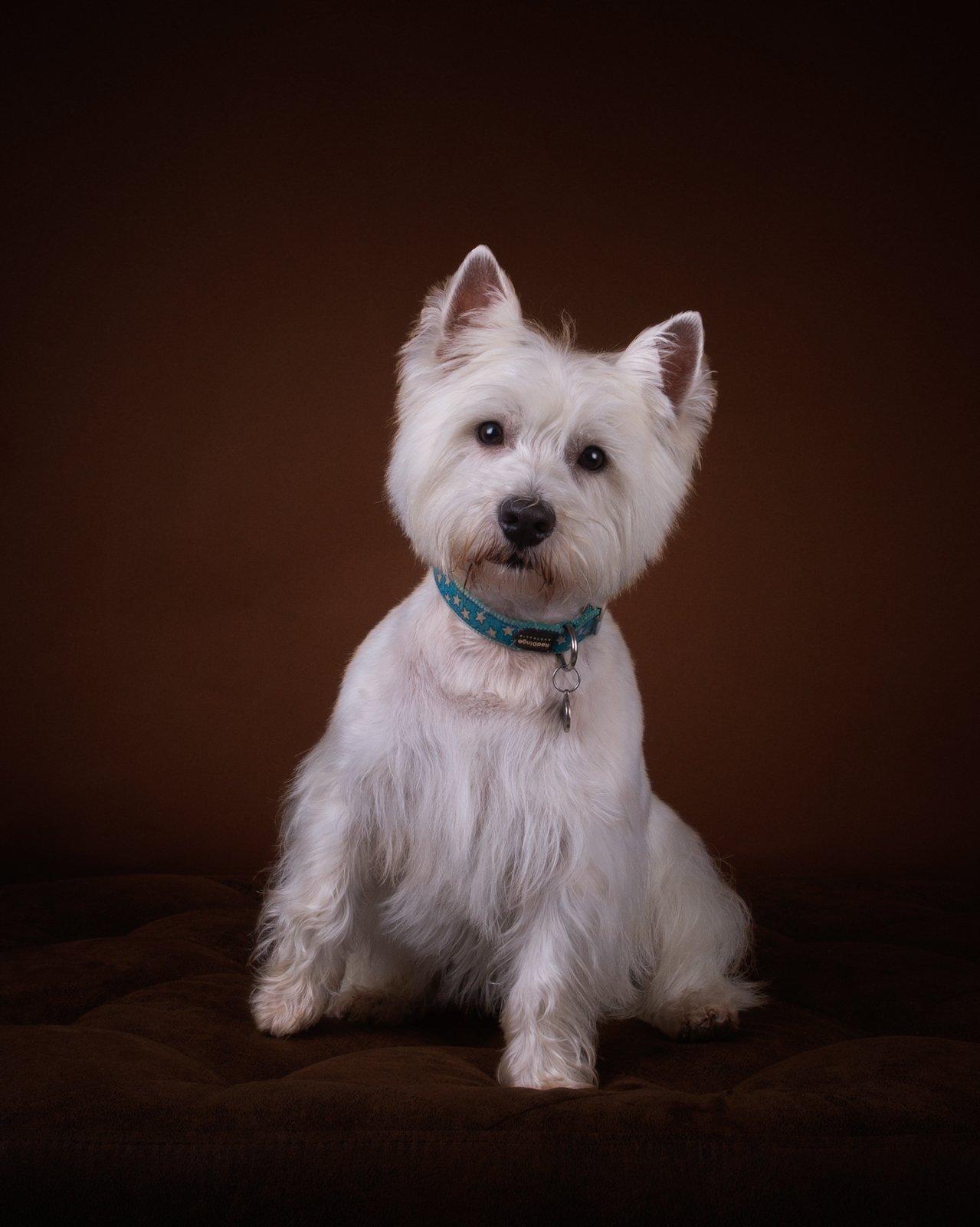 Katrina Wilson Dog Photography Bedfordshire Studio Dog Portrait-6