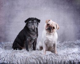 Katrina Wilson Dog Photography Bedfordshire Studio Dog Portrait-7