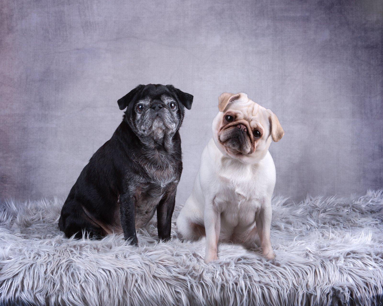 Katrina Wilson Dog Photography Bedfordshire Studio Dog Portrait-7