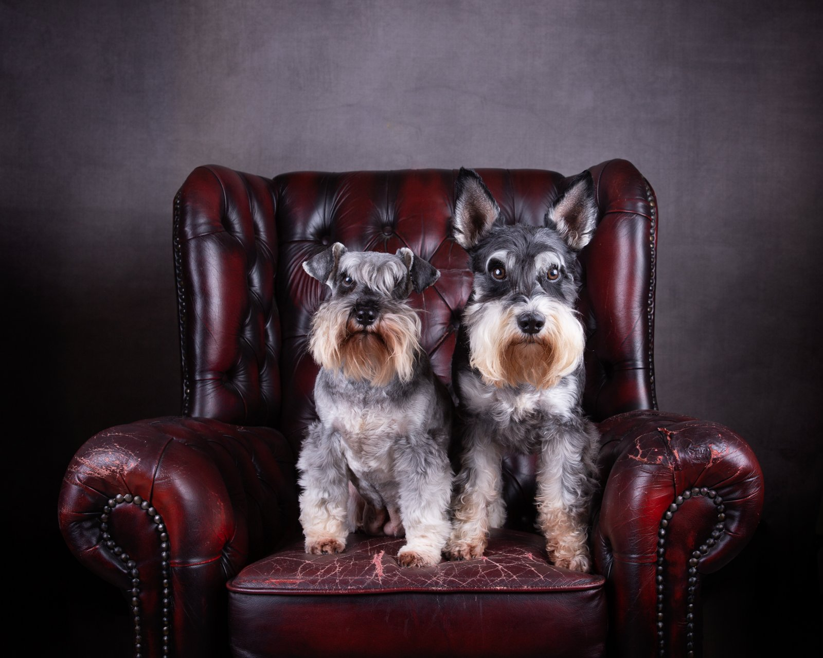 Katrina Wilson Dog Photography Bedfordshire Studio Dog Portrait-8