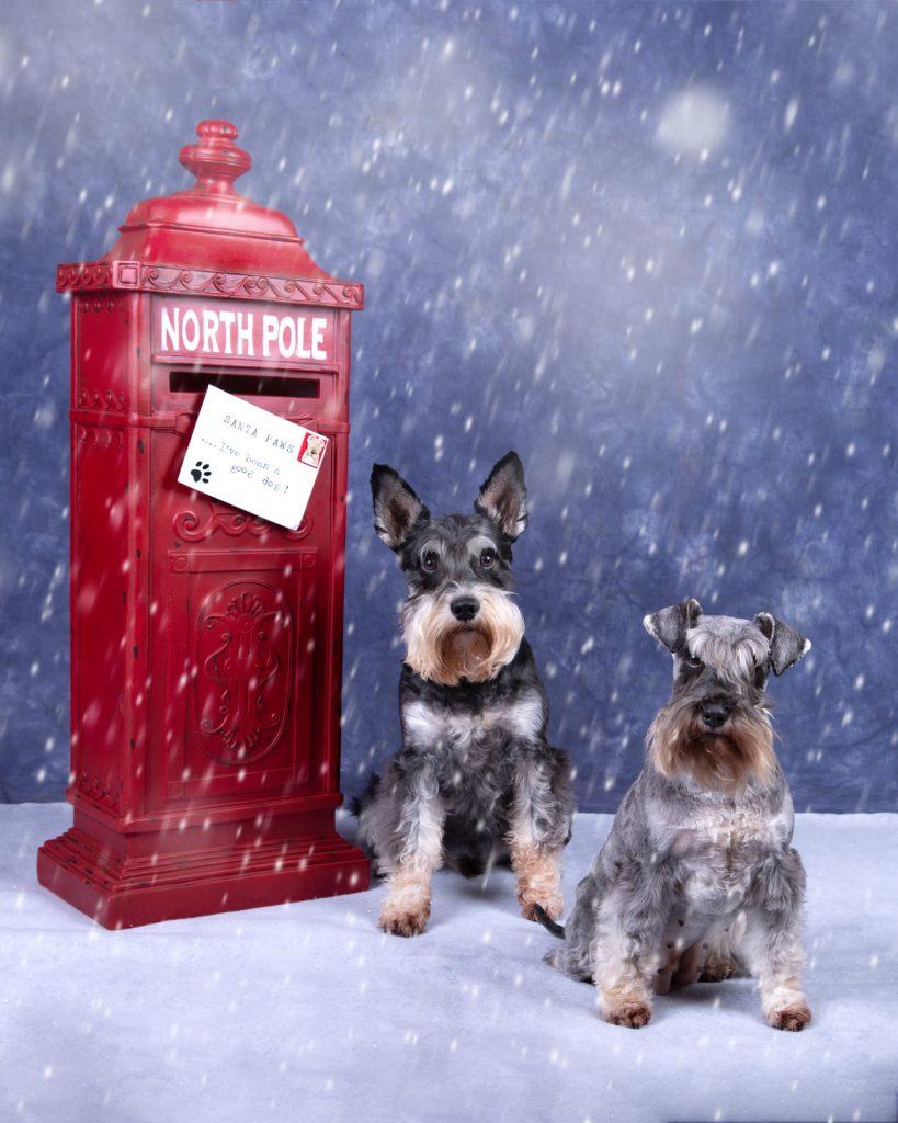 Katrina Wilson Dog Photography Bedfordshire Top 10 Christmas Dogs-11