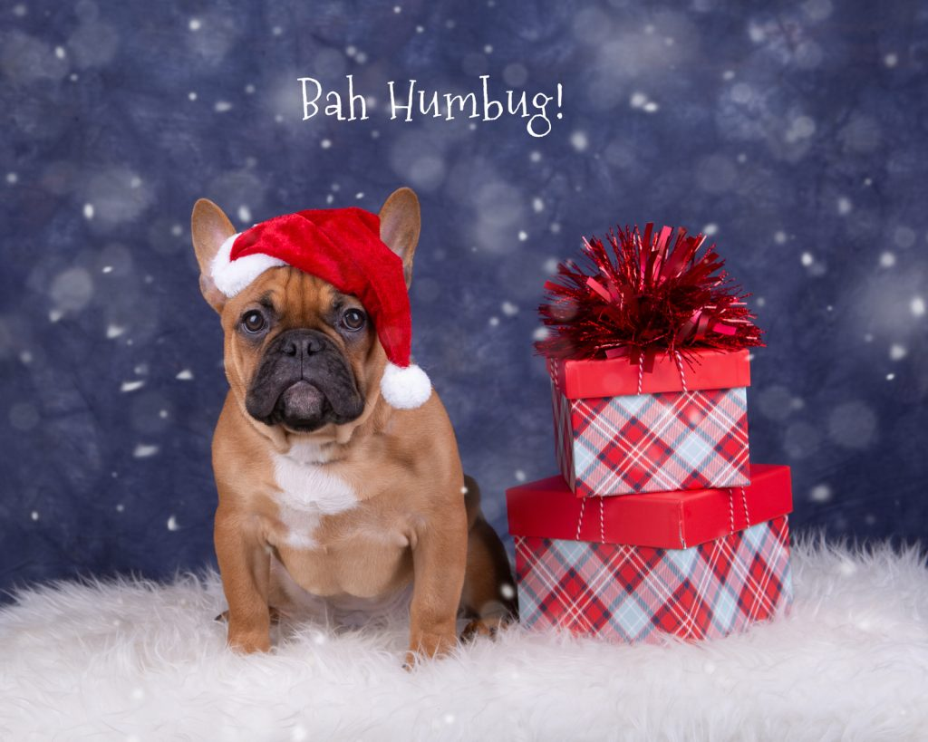 Katrina Wilson Dog Photography Bedfordshire Top 10 Christmas Dogs-3