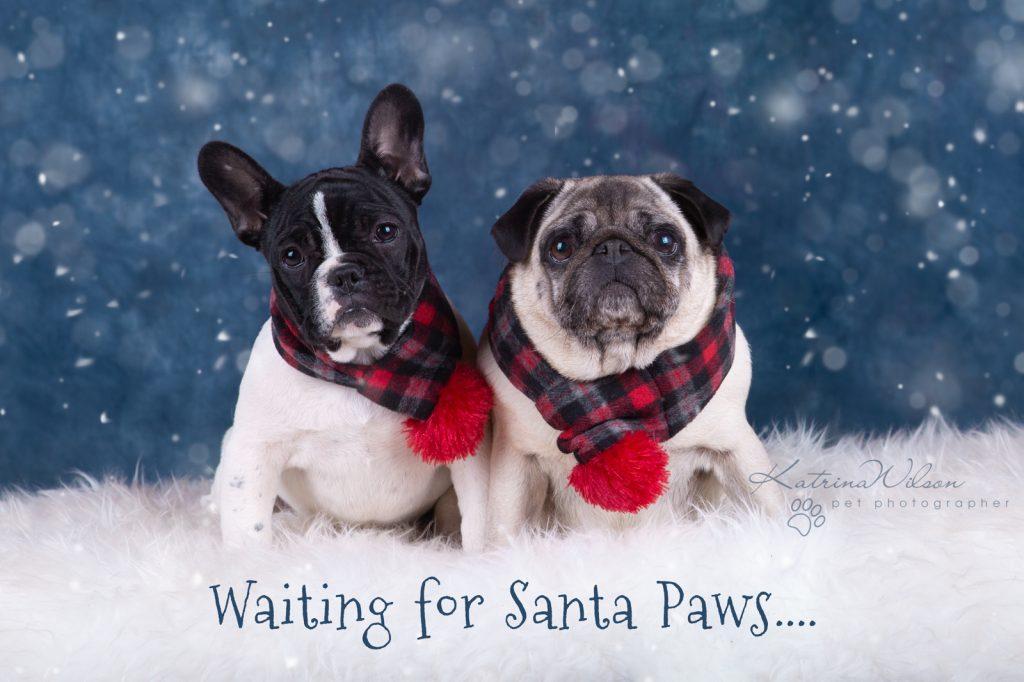 Katrina Wilson Dog Photography Bedfordshire Top 10 Christmas Dogs-6