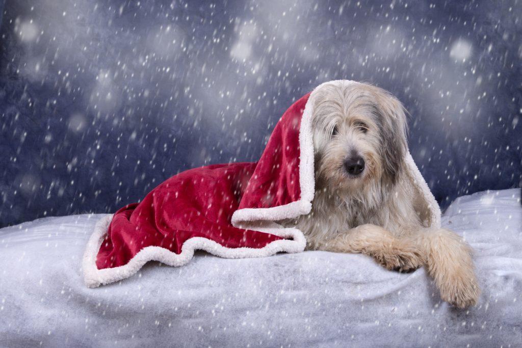 Katrina Wilson Dog Photography Bedfordshire Top 10 Christmas Dogs-7