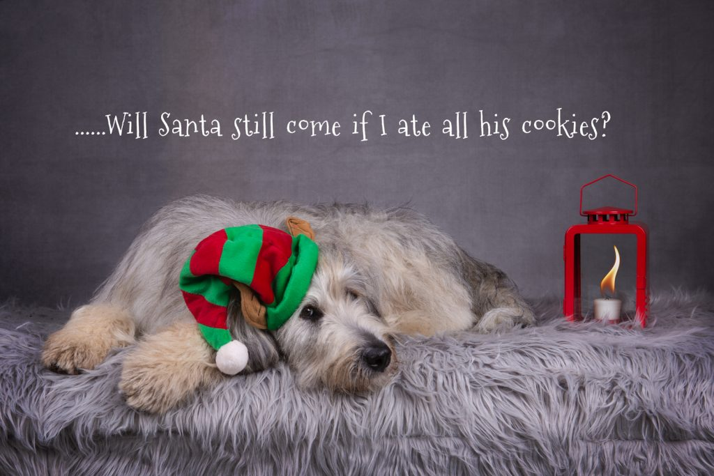 Katrina Wilson Dog Photography Bedfordshire Top 10 Christmas Dogs-8