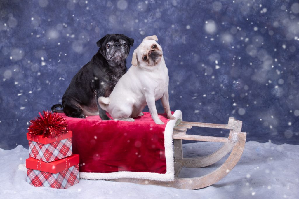 Katrina Wilson Dog Photography Bedfordshire Top 10 Christmas Dogs-9