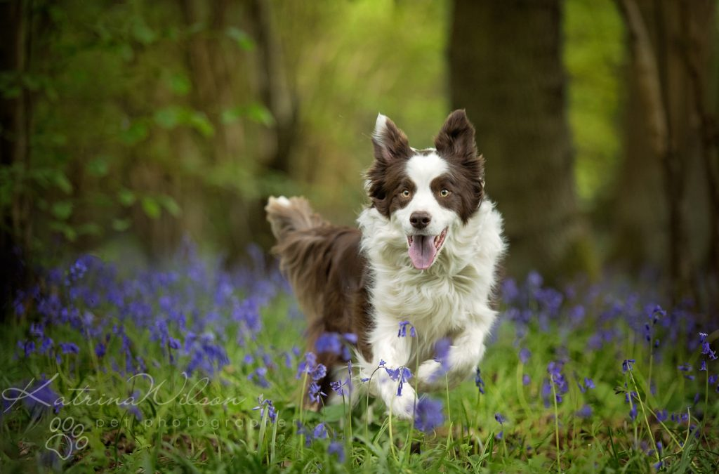 10 things my dog has taught me - Border Collie - Katrina Wilson Dog Photography Bedfordshire-4