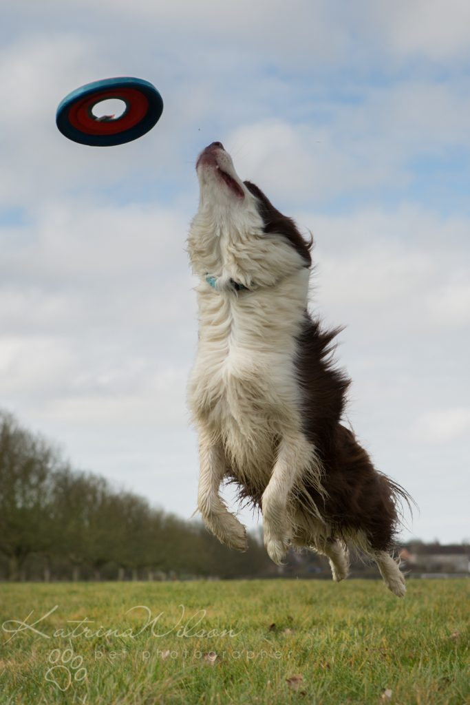 10 things my dog has taught me - Border Collie - Katrina Wilson Dog Photography Bedfordshire-9