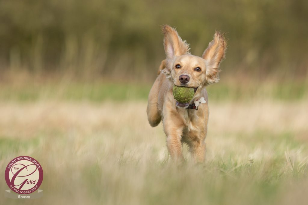 Guild of Photographers - Katrina Wilson Dog Photography Bedfordshire-2