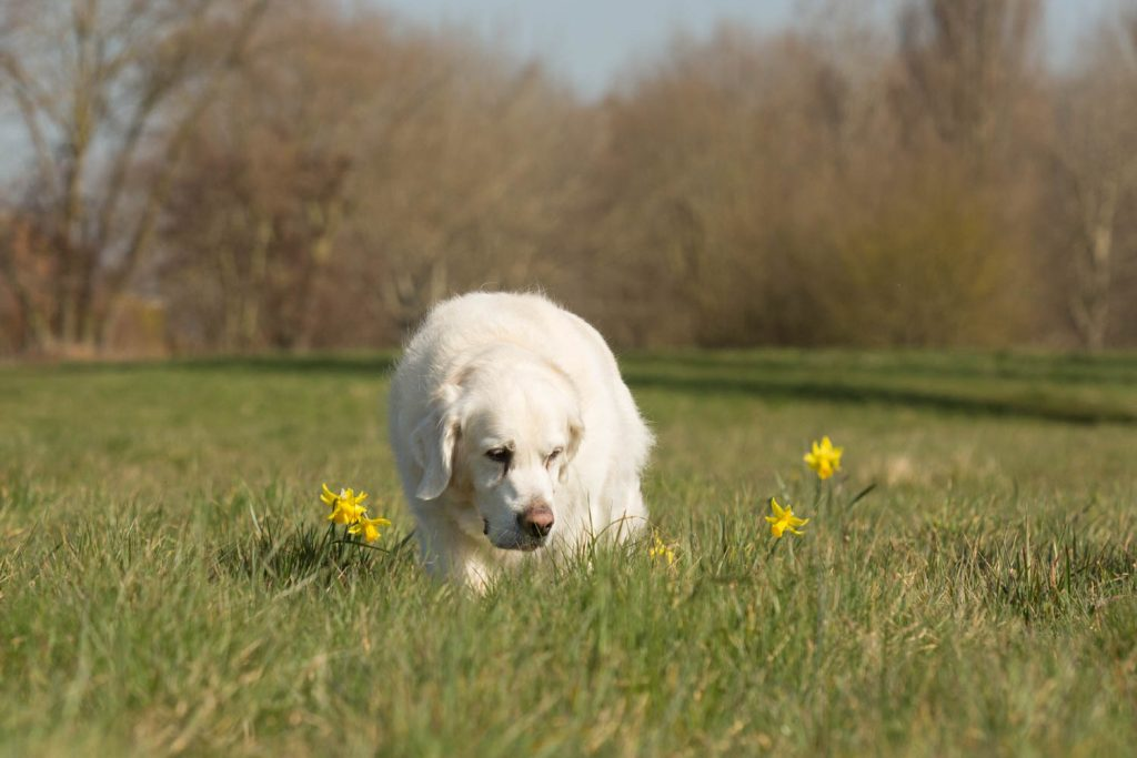 plants that are toxic to dogs-5