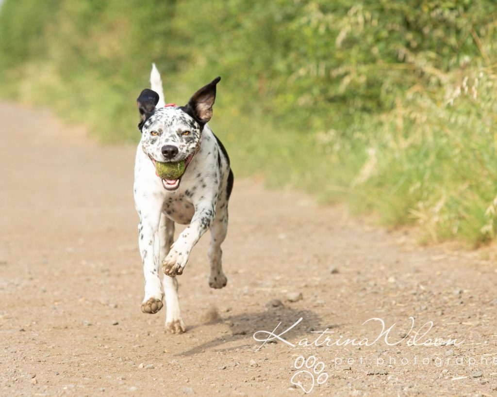 Dalmatian rescue dog Photography Bedfordshire Katrina Wilson Photography-2