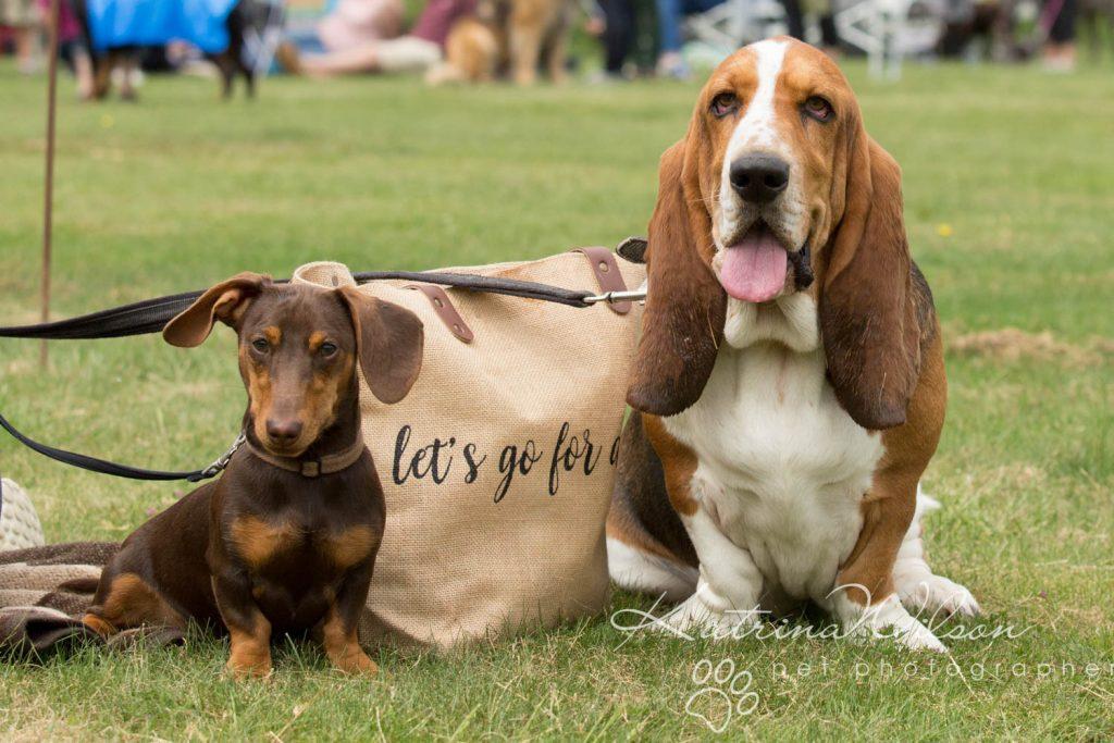 Companion dog show cute dog - Katrina Wilson Pet Photographer Bedfordshire