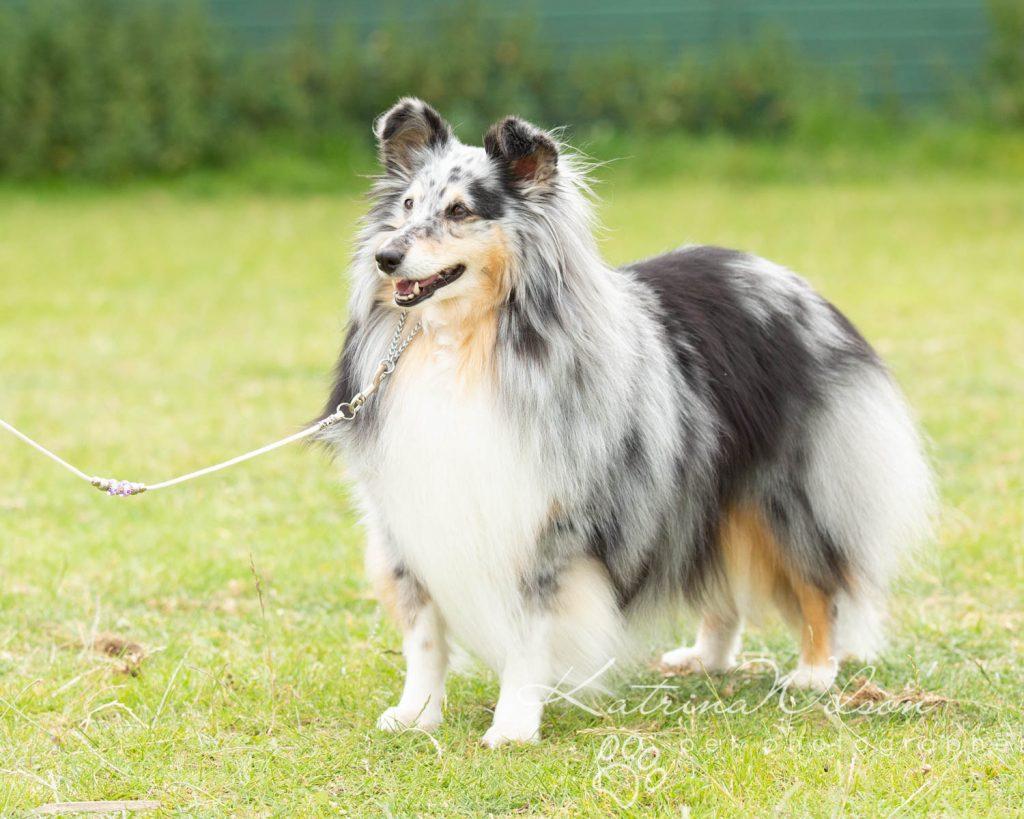 Companion dog show cute dog - Katrina Wilson Pet Photographer Bedfordshire-11